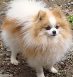 pictures of pomeranians | Chance - Pomeranian's