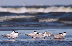 Sterna Sandvicensis and Sterna Hirundo in Danube Delta