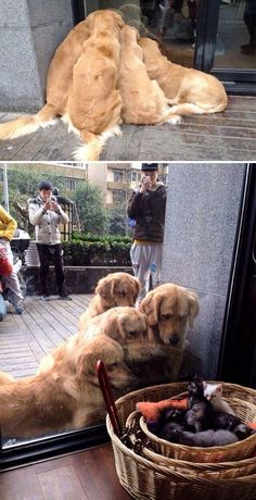 Astonishing Everything You Ever Wanted to Know about Golden Retrievers Ideas. Glorious Everything You Ever Wanted to Know about Golden Retrievers Ideas. Golden Retrievers, Perros Golden Retriever, Retriever Puppies, Cute Animals With Funny Captions, Funny Animal Photos, Funny Dog Pictures, Funny Animals, Puppy Pictures, Adorable Animals