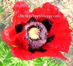 Oriental Poppy Flower Seeds - Beauty Of Livermere