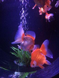 #金魚#goldfish