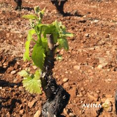 It's very quiet in the vineyards during this lockdown but the leaf buds are at last starting to form on the vines. Wine Vineyards, Wine Bottle Stoppers, Bud, Vines, Plants, Wine Bottle Corks, Plant, Arbors, Gem