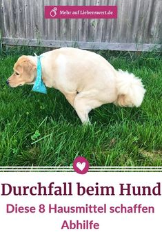 Durchfall beim Hund: Diese 8 Hausmittel schaffen Abhilfe Diarrhea in dogs can have many causes. We tell you which home remedies can help and when you should visit the vet. Pumpkin Recipes For Dogs, Diarrhea In Dogs, Wood Dog, Dog Agility, Pet Memorials, Service Dogs, Whippet, Home Remedies, Animals And Pets