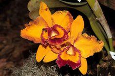 XII EXPOSICIN NACIONAL DE ORQUDEAS - POPAYN (RODRIGO CAICEDO LPEZ) Tags: flowers flores colombia orchids orqudeas nacional orquideas nevado paramo cauca colombianas exposicin popayan