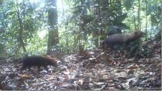 """Población de """"perros de monte"""" se extiende en Panamá y puede pasar a Costa Rica http://www.inmigrantesenpanama.com/2016/01/19/poblacion-perros-monte-se-extiende-panama-puede-pasar-costa-rica/"""