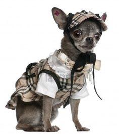 Chihuahua Dressed In Plaid