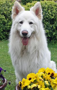 Apollo the German Shepherd   I'm going to get a puppy when i nice home! White German Shepard hopefully...