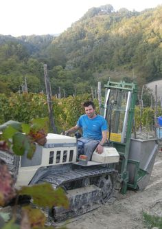 Grapes Harvest in Tacchino Raffaele Wineyards in Piedmont - Tacchino Riccardo info@tacchinovino.it