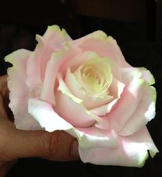 Two Tone Icing Sugar rose