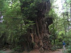 cedar trees | We also visited the Quileute Reservation, in the coastal village of ...