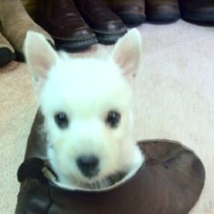 Bella - sitting in slipper at 10 wks old