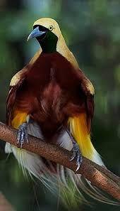 Resultado de imagem para aves-do-paraíso fotos                                                                                                                                                      Mais