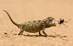 Gotcha! - The Namib desert,Namibia, has some of the highest sand dunes in the world. One morning I spotted this chameleon and watched it for a while. When it walked towards a bush and stopped, I saw the bug. I lay flat on the sand with a 90mm macro, chose a fast shutterspeed and composed the shot.  If you're interested in joining me on our next Namibia photo tour, please have a look on my website for more info: www.squiver.com  ©2011 Marsel van Oosten, All Rights Reserved. This image is ...