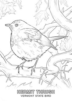 Click The Vermont State Bird Coloring Pages To View Printable Version Or Color It Online Compatible With IPad And Android Tablets