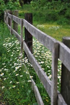 daisies and rustic fence