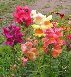Antirrhinum majus -Annual - common snapdragon -leaves simple, usually opposite below, opposite above.  the common name is a reference to the dragon-shaped, tubular, two-lipped, closed flowers appear in terminal racemes.  Blooms April to frost - Full sun