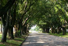 Live oaks (Georgetown, South Carolina)
