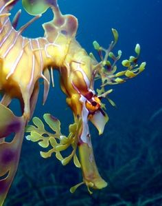 Watching the watcher, a sea-dragon. Underwater Creatures, Underwater Life, Ocean Creatures, Life Under The Sea, Under The Ocean, Leafy Sea Dragon, Beautiful Sea Creatures, Beneath The Sea, Deep Blue Sea