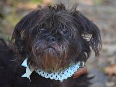 TO BE DESTROYED 10/19/17 -- *RESCUE ONLY** 9627_COOKIE  I am a female black dog at the Staten Island ACC . 12 YRS OLD- owner surrender