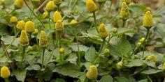 O jambu (Acmella oleracea) é uma hortaliça nativa da região amazônica mas que atualmente é cultivada em diversas regiões