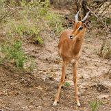 Artist: Engela Vermeulen   metal posters - Displate #Impala #Juvenile #SouthAfrica #UmfoloziGameReserve #Displate #Nature #Animals #Horns