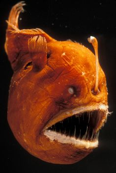 Discover the incredible anglerfish, denizen of the ocean& deep, lightless realms. Learn how these predators attract their victims with bits of luminous flesh. Deep Sea Creatures, Weird Creatures, Deep Sea Animals, Underwater Creatures, Underwater Life, Ocean Deep, Sea And Ocean, Humpback Whale, Octopuses