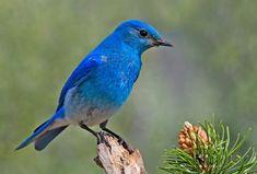 """Aves de colores * """"Azulejo de las montañas"""""""