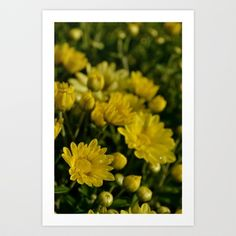 Yellow Mums Art Print by Cindy Munroe Photography - $15.00