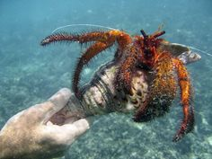 very large hermit crab making itself at home in a queen triton shell
