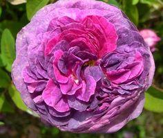 Cosimo Ridolfi ~ Gallica Rose