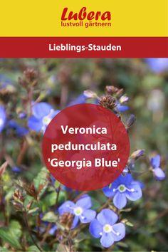 Unsere Veronica pedunculata 'Georgia Blue' blüht von Früh- bis Spätsommer und ist perfekt für den Vorgarten oder Hausgarten geeignet. Da überzeugt doch nicht nur ihre schöne blaue Farbe oder? Mehr Infos und Tipps finden sie in unserem Shop ↓  ↓  ↓  ______________________________________________________ #Veronicapedunculata #blüte #pflanze #garten #lubera #gärtnern #gartengestaltung #dekoideen #blau #vorgarten #hausgarten Veronica, Georgia, Blog, Large Plants, Shade Perennials, Home And Garden, Tips, News, Colour