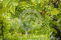 Photo about Portrait style photo of a grape vine with blurred backgound. Image of blur, summer, season - 145588612 Root Table, Blur, Free Stock Photos, Grape Vines, Fashion Photo, Portrait, Illustration, Image, Style