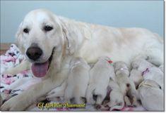 Cute Golden Retriever Baby Blue Eyed Labrador In 2020 Golden