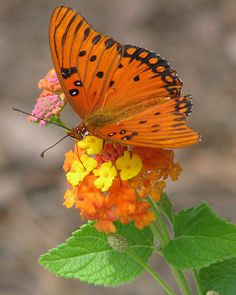a burst of orange - Gulf Fritillary