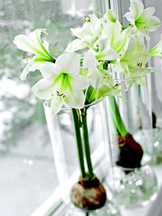 white amaryllis in high necked containers on a windowsill