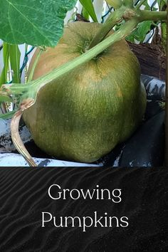 Growing large pumpkins and some of the issues you might face Gardening For Beginners, Gardening Tips, Low Light Plants, Cold Frame, Grow Your Own Food, Outdoor Plants, Raised Garden Beds, Hanging Plants, Plant Care
