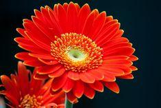 Free Image on Pixabay - Gerbera, Garden, Flower, Summer