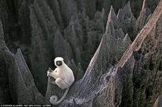 The white-legged lemurs are among 11 species of lemur to be found in the stone forest of the Tsingy de Bemaraha national park.  Read more: http://www.dailymail.co.uk/news/article-2126941/Life-edge-Inside-worlds-largest-STONE-forest-tropical-rain-eroded-rocks-300ft-razor-sharp-spikes.html#ixzz1rbn49LVw