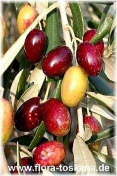 Frantioia olives