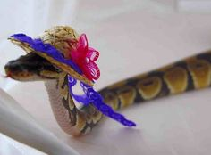 First it was a snake in a sombrero, now it's a snake in a straw hat. it just gets better.
