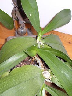 Orchidophile amateur: Reproduction des orchidées