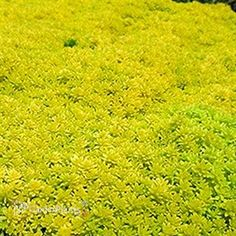 'Gold Moss' Sedum acre