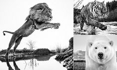 Breathtaking shot of the King of Beasts jumping an African stream is captured by world-renowned wildlife photographer | Daily Mail Online