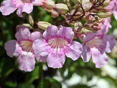 Conoce las Plantas: Bignonia rosada ( Podranea ricasoliana )