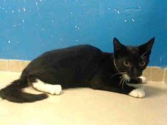 TO BE DESTROYED 8/15/13 Brooklyn Center  My name is JILLY. My Animal ID # is A0974620. I am a female black and white domestic sh mix. The shelter thinks I am about 14 WEEKS old. https://www.facebook.com/photo.php?fbid=648857981792704=a.576546742357162.1073741827.155925874419253=3