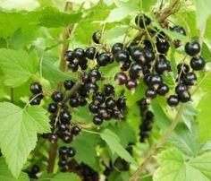 Mustaherukka (Ribes Nigrum) Beautiful Fruits, Fungi, Flora, Garden, Allotment, Garten, Mushrooms, Lawn And Garden, Plants