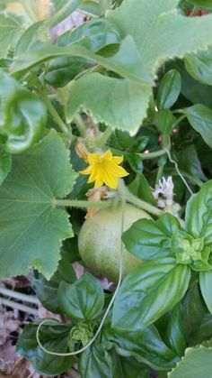 Day 75. 6/25/14. So happy to see some lemon cucumbers and new blossoms.