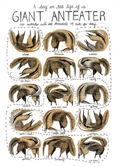 A little illustration to show the Giant Anteaters daily struggle to consume the thousands of ants necessary for its daily nutrition. Plus the anteater is pretty cute…