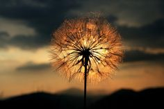 Dandelion in the sunset #photography