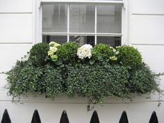 boxwood in window boxes